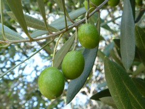 olive01_01